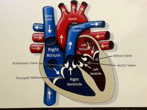 Armand-Bayou-Heart-Diagram
